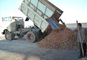Delivery of freshly harvested pistachios