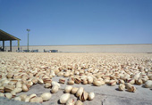Pistachios drying in the sun (traditional way)